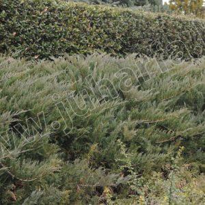 Tamariscifolia