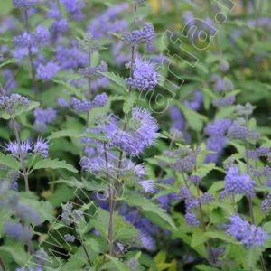 Kékszakáll - Kew Blue