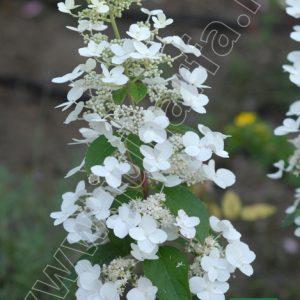 Bugás hortenzia Unique