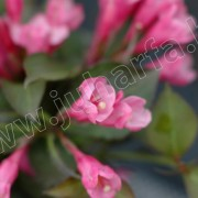 Rózsalonc Purpurea Nana