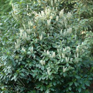 Babérmeggy Magnilifolia