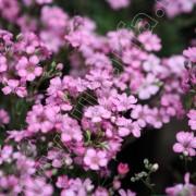 Rózsaszín fátyolvirág