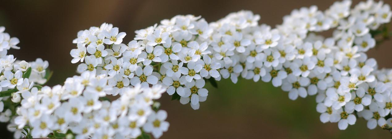 Virágzó dísznövények