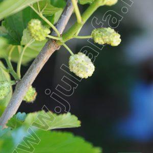 Fehér nagyggyümölcsű eperfa