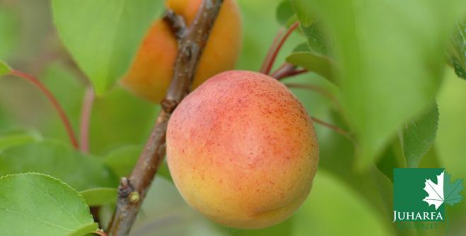 Melyik gyümölcsfajtákból készül a legjobb pálinka?