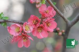 Kerti japámbirs Pink Lady
