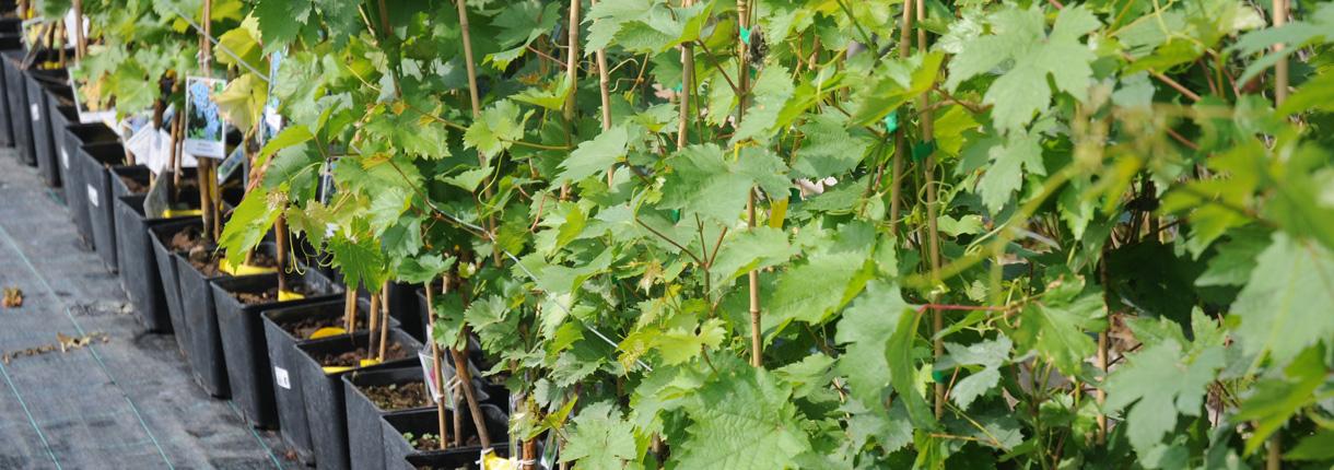 Konténeres szőlőoltványok